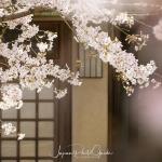 106-Kyoto-Cherry-Blossom
