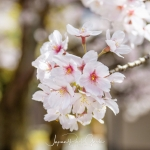 108-Kyoto-Cherry-Blossom