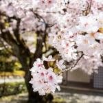 109-Kyoto-Cherry-Blossom