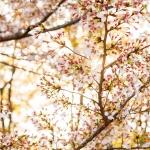 111-Kyoto-Cherry-Blossom
