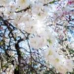 035-Miyajima-Cherry-Blossom