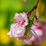 039-Miyajima-Cherry-Blossom