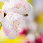 040-Miyajima-Cherry-Blossom