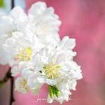 042-Miyajima-Cherry-Blossom