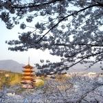 Japan-Cherry-Blossom-98-L