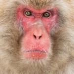 japanphotoguide-japanese-snow-monkeys_0064