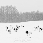 japanphotoguide-red-crowned-cranes_0040