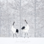 japanphotoguide-red-crowned-cranes_0048