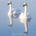 japanphotoguide-whooper-swans_0007