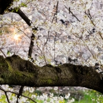 010-Tokyo-Cherry-Blossom