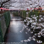 Japan-Cherry-Blossom-48-L